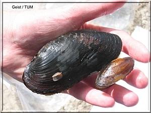 Flussperlmuschel
