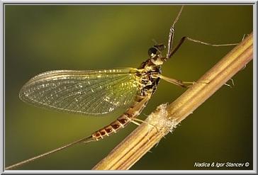 Ecdyonurus male imago