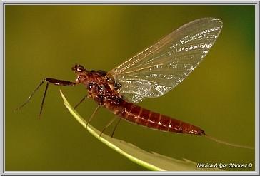 Leptophlebia female imago